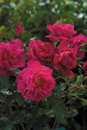Roses-tam-o-shanter.full