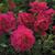 Roses-tam-o-shanter.small