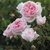 Roses-wedgewood-rose.small