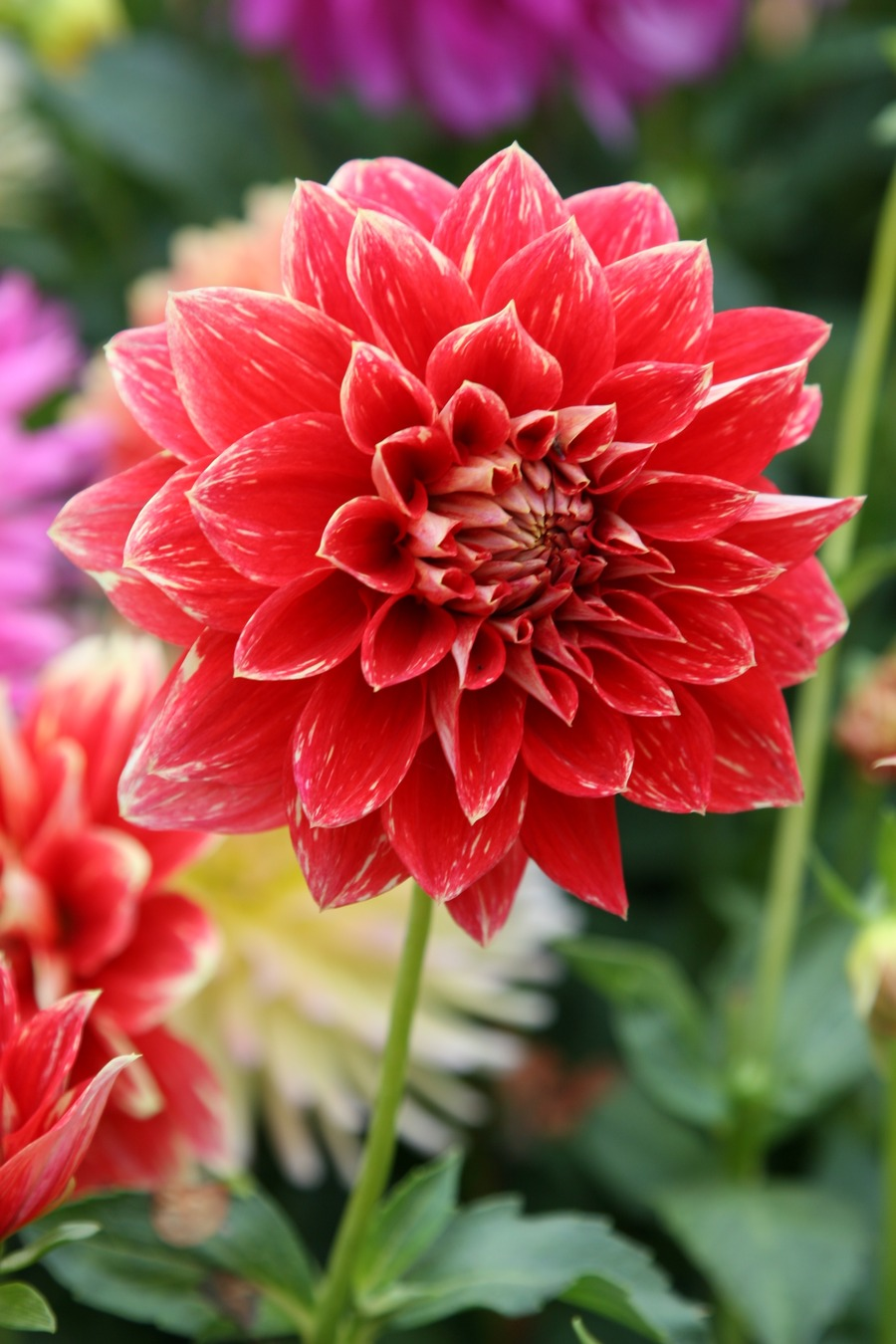 Dahlias_dahlia_robert_lee-2.full