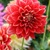 Dahlias_dahlia_robert_lee-2.small