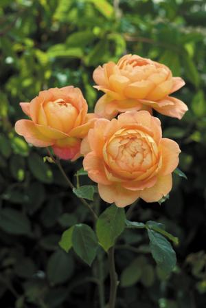 Roses-lady-of-shalott.full