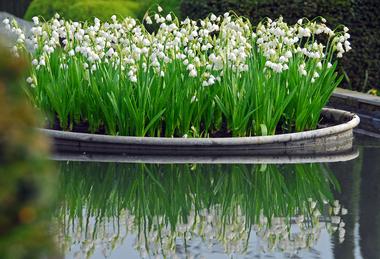 Buy Spring snowflake bulbs Leucojum vernum: Delivery by Crocus