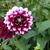 Dahlias_dahlia_ryan_c-1.small