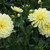 Dahlias_dahlia_sandia_joy-1.small