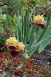 Out of season blooming Iris