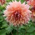 Dahlias_dahlia_sherwood-1.small