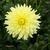 Dahlias_dahlia_sunny-1.small