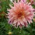 Dahlias_dahlia_surprise-1.small