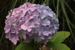All but one bloom left on this hydrangea