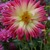 Dahlias_dahlia_tahiti_sunrise-1.small