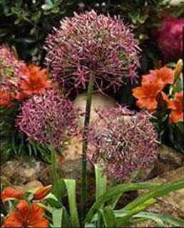 Allium 'Star of Persia'