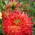 Dahlias_dahlia_tyler_james-1.small