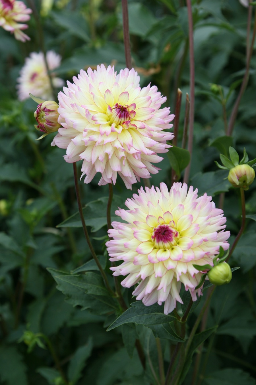 Dahlias_dahlia_whimsey-1.full