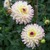 Dahlias_dahlia_whimsey-1.small