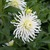 Dahlias_dahlia_white_lightening-1.small