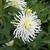 Dahlias_dahlia_white_lightening-1.small