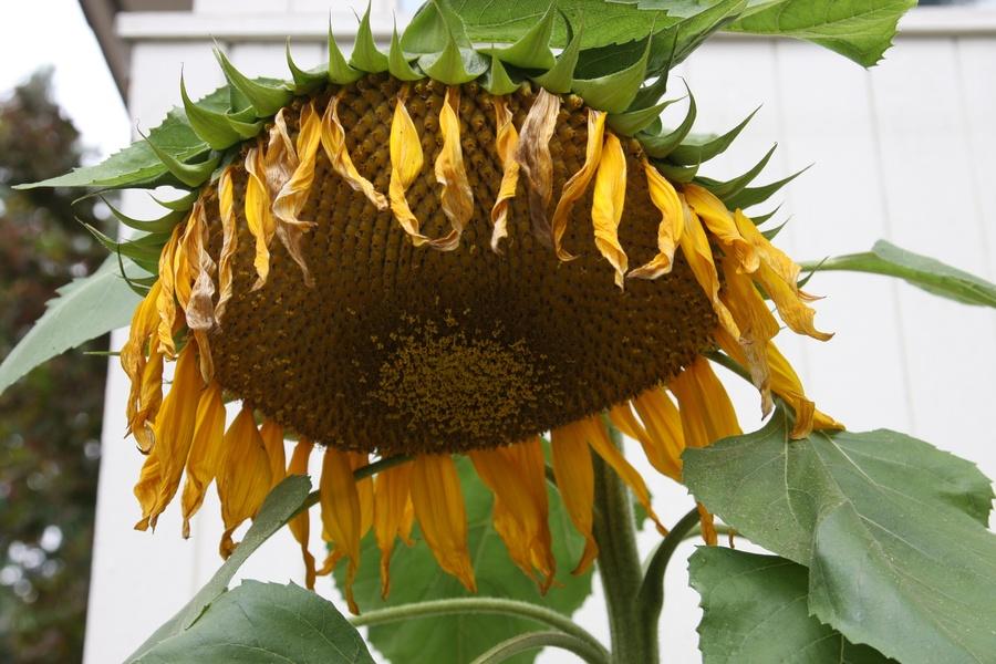 Sunflowers_2.full
