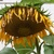 Sunflowers_2.small