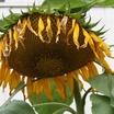 Sunflowers_2.thumb