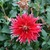 Dahlias_dahlia_wildman-1.small
