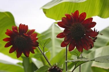 Sunflowers_3.detail