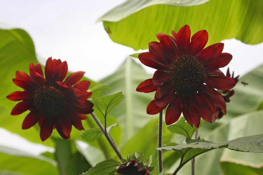 Sunflowers_3.full