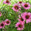 Coneflowers_echinacea_purpurea_leuchtstern.thumb