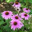Coneflowers_echinacea_purpurea_leuchtstern-1.thumb