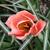 Tulips_tulipa_apricot_beauty-5.small