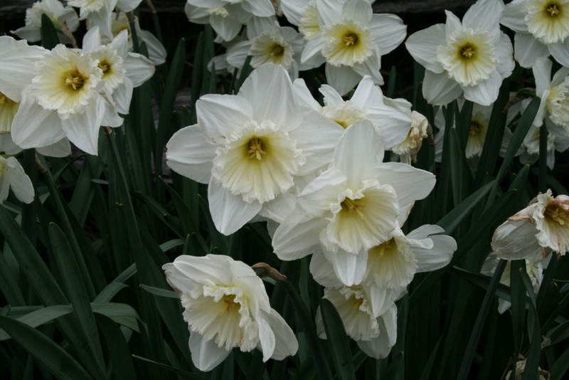 Daffodils_and_narcissus_narcissus_ice_follies-3.full