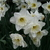 Daffodils_and_narcissus_narcissus_ice_follies-3.small