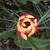 Tulips: Tulipa 'Leen van der Mark'