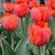 Tulips_tulipa_ad_rem-5.small