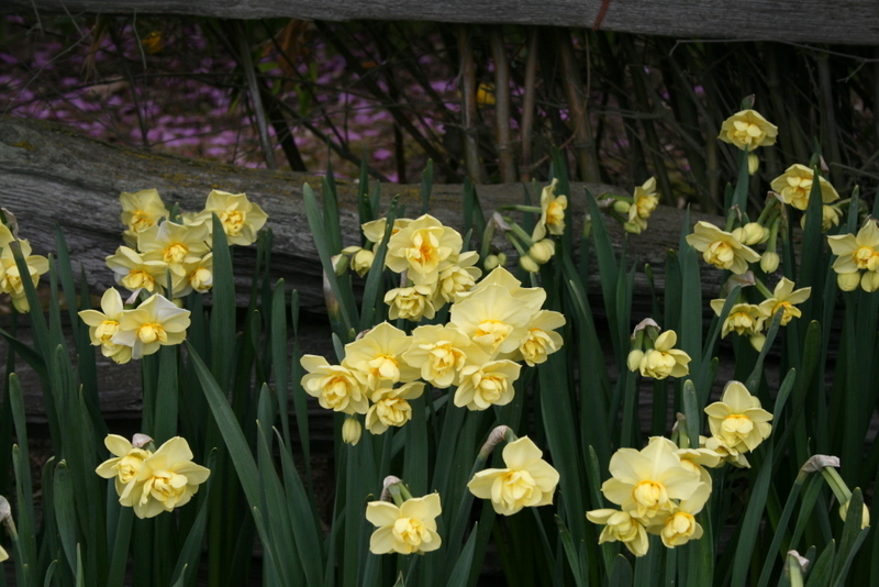 Daffodils_and_narcissus_narcissus_yellow_cheerfulness-4.full