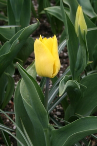 Tulip, Single Early 'Yokohama'