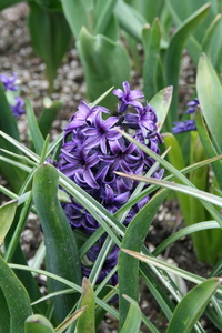 Hyacinth, 'King of the Blues'