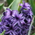 Hyacinths_hyacinthus_king_of_the_blues-2.small