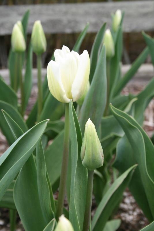 Tulips_tulipa_white_dream-4.full