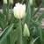 Tulips_tulipa_white_dream-4.small