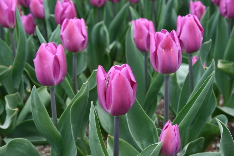 Tulips_tulipa_purple_flag-4.full