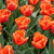 Tulips_tulipa_ornage_monarch-5.small