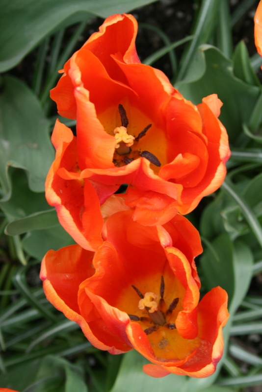Tulips_tulipa_ornage_monarch-5.full
