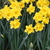 Daffodils_and_narcissus_narcissus_flower_carpet-2.small