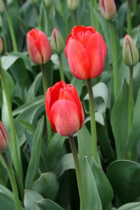 Tulips_tulipa_apeldoorn-3.full