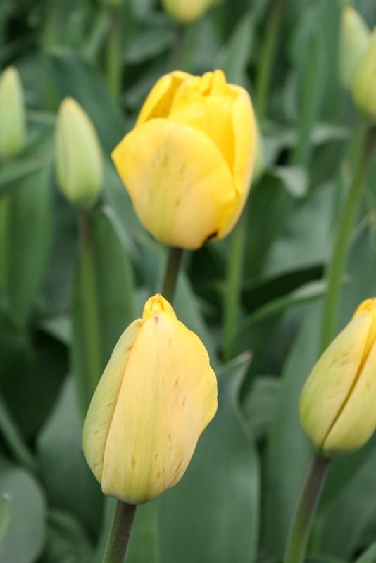 Tulips_tulipa_golden_apeldoorn-3.full
