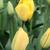 Tulips_tulipa_golden_apeldoorn-3.small