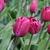 Tulips_tulipa_negrita-3.small