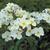 Modern Roses: Rosa 'Kew Gardens'