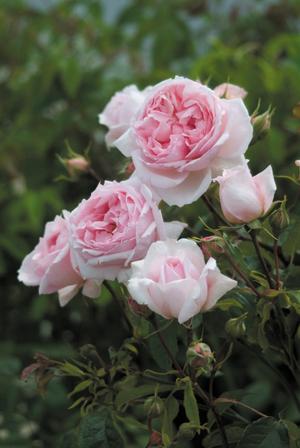 Modern_roses_rosa_the_wedgewood_rose.full